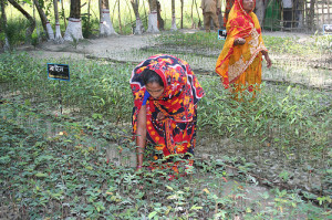 Women in Bangladesh attend to a mangrove nursery as part of the country's climate change adaptation efforts (photo courtesy of UNEP).