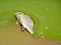 dead fish algae bloom